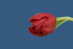 Wet red tulip on a blue background Stock Image