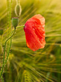 Wet  red-weed. A wet red poppy after the rain with a blurred background Stock Photos