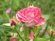 Wet red and white rose Royalty Free Stock Photo