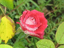 Wet red and white rose Stock Photo
