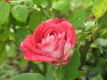 Wet red and white rose Stock Images