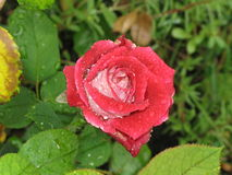 Wet red and white rose Stock Photography