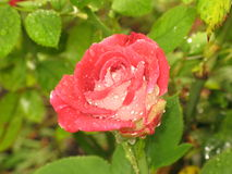 Wet red and white rose Royalty Free Stock Image