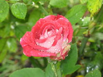 Wet red and white rose Royalty Free Stock Images