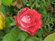 Wet red and white rose Stock Photos