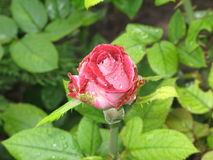 Wet red and white rose Stock Image