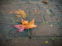 Wet red-yellow maple leaves on wet asphalt-Autumn rain. Stock Photos