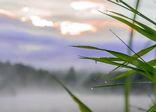 Wet reed grass closeup on foggy morning Stock Images