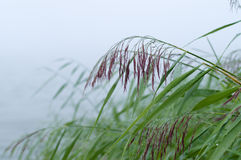 Wet reed grass on foggy morning Royalty Free Stock Photo