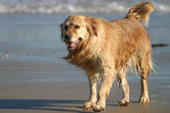 Wet Retriever Stock Photo