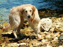 Wet RETRIEVER. Golden Retriever by the sea royalty free stock photography