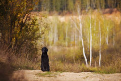 Wet retriever sitting on the background of the autumn trees Stock Photo