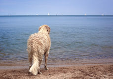 Wet retriever standing on shoreline looking out to sea Royalty Free Stock Images