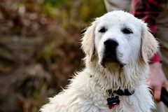 Wet Retriever. White English Cream Golden Retriever wet after playing in the water looking with quiet intensity Stock Photography