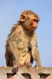 Wet Rhesus macaque sitting on a stone wall in Jaipur, Rajasthan, Stock Images