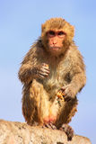 Wet Rhesus macaque sitting on a stone wall in Jaipur, Rajasthan, Royalty Free Stock Photography