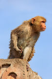 Wet Rhesus macaque sitting on a stone wall in Jaipur, Rajasthan, Royalty Free Stock Images