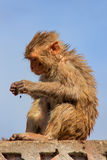 Wet Rhesus macaque sitting on a stone wall in Jaipur, Rajasthan, Royalty Free Stock Photos
