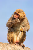 Wet Rhesus macaque sitting on a stone wall in Jaipur, Rajasthan, Royalty Free Stock Image
