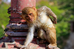 Wet Rhesus macaque sitting on a stone wall in Jaipur, Rajasthan, Stock Photos