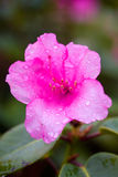 Wet rhododendron Stock Images