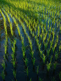 Wet rice cultivation in Bali, Indonesia Stock Photography