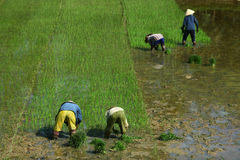 Wet rice cultivation at paddy field in Vietnam Royalty Free Stock Photo
