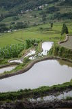 Wet rice fields in Yunnan Stock Image