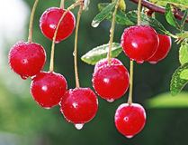 wet ripe cherry Stock Image