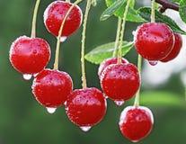 Wet ripe cherry Stock Photo