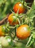 Wet ripe red tomatoes Royalty Free Stock Photos