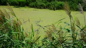 Wet river covered with duckweed. Wet river covered with a duckweed stock footage