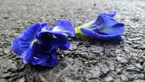 Wet road and falling blue Butterfly pea flowers after the heavy  rain Stock Photo