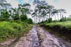 Wet road in pine forest Stock Images