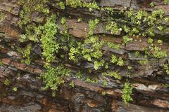 Wet Rock Face With Plants Royalty Free Stock Images