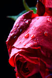 Wet rose Stock Photos