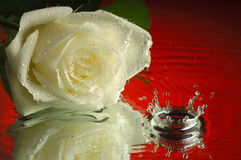 Wet rose #2. Wet rose on a mirror Royalty Free Stock Image