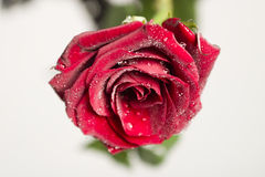Wet rose. A wet rose stock photo