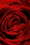 Wet rose. Close-up shot (shallow DoF Stock Images