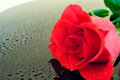 Wet Rose. With beads of water on a wet, black piano top Stock Photography