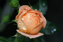 Wet Rose Bud. Water droplets on an opening orange rose bud Royalty Free Stock Photography