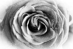 Wet rose bw, detail. Wet rose with drops of the water, black and white, detail Stock Photo