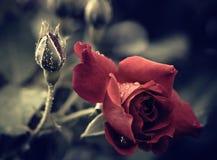 Wet rose flower Royalty Free Stock Photo