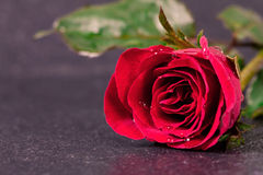 Wet rose flower placed on black stone Stock Photography