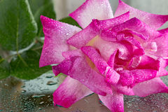 Wet rose Royalty Free Stock Photography