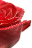 Wet rose isolated Stock Photo