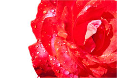 Wet Rose Isolated Stock Photography
