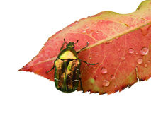 Wet rose leaf with a bug. Isolated on white stock image