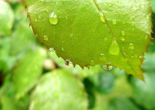 Wet rose leaf. Green leaf with water drops Royalty Free Stock Photo
