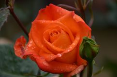 Wet rose in orange rain. With natural light Stock Image